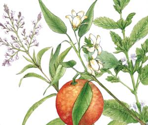 melisse-verveine-fleurd'oranger