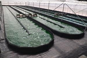 bassin culture spiruline